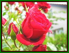 Fotolia_776435_XS_rote_rose
