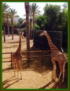 Foto_giraffe