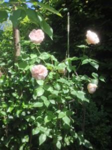 rose_foto