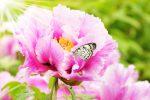 Blühende Pfingstrose im Garten bei Sonnenschein und mit Schmetterling