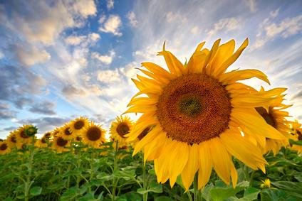 Sommer - Sonnenblumen in voller Blte